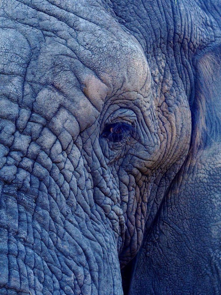 elefant med rynkiga ögon